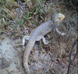 Lost Bearded Dragon San O